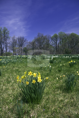 Daffodils naturalized in a field with blue sky vertical stock photo, Yellow and white daffodils naturalized in a field with green grass and bright blue sky by Stephen Goodwin