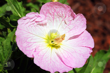 Showy pink primrose stock photo,  by Heather Shelley