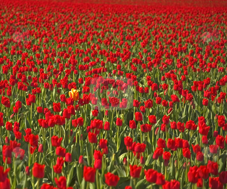 Standing Out In The Crowd stock photo, This lone multi colored yellow tulips stands out among a sea of red tulips as far as the eye can see to convey the message
