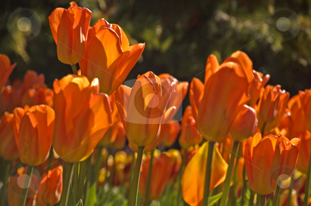 Dramatic Orange Tulips stock photo, This photo is dramatic with orange tulips in the bright morning sunshine. by Valerie Garner