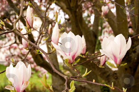 Magnolia Tree in Bloom stock photo, This is a beautiful photo of a magnolia tree in full bloom showing off it's pastel colors. by Valerie Garner