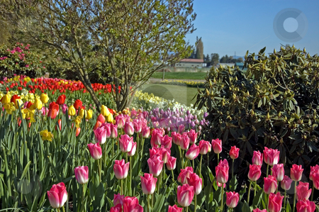 Beautiful Tulip Garden stock photo, This stunning tulip garden has waves of many colored tulips and trees against a blue sky for a gorgeous landscape. by Valerie Garner