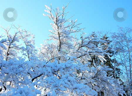 Winter Scene Against Blue Sky stock photo, Lovely winter photo of freshly fallen snow upon trees against a brilliant blue sky in the background for a stunning nature picture. by Valerie Garner