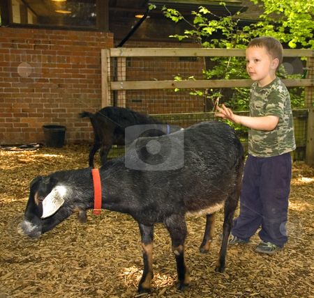 Young Boy Hesitantly Petting Goat stock photo, This young 5 year old Caucasian boy is hesitant about petting this black goat. by Valerie Garner