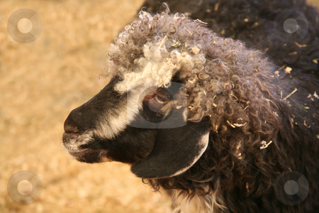 Goat or sheep stock photo, Beautiful goat or colorful wooly sheep by Stacy Barnett
