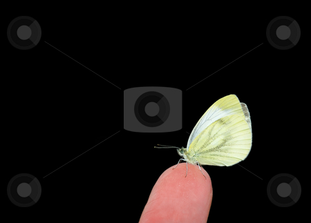 Small White stock photo, Small Cabbage White on a fingertip isolated over black background. by Ivan Paunovic