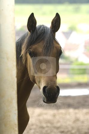 Arabian portrait stock photo, Arabian horse headshot by Andreas Brenner