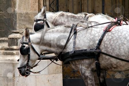 Gray horses stock photo, Two gray horses detail on street with harness on street by Juraj Kovacik