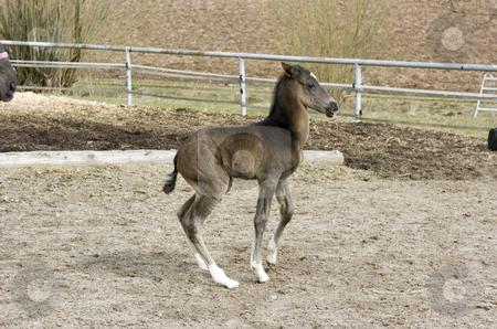 Newborn Akhal-Teke foal stock photo, Newborn akhal-teke foal in paddock by Andreas Brenner
