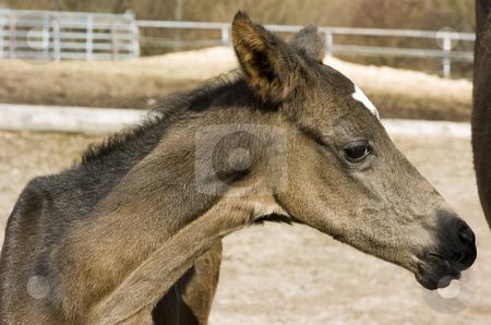 Cute newborn Akhal-Teke headshot stock photo, Newborn akhal-teke headshot by Andreas Brenner