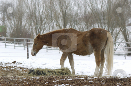 Old Akhal-Teke gelding stock photo, Very old akhal-teke gelding in paddock while it's snowing by Andreas Brenner