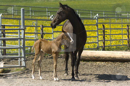 Akhal-Teke mother with foal stock photo, Akhal-teke mother with foal in paddock in summer by Andreas Brenner
