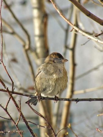 Wild sparrow stock photo, One wild sparrow sitting at the branch of the tree by Sergej Razvodovskij