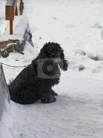 Winter dog stock photo, Tie up black dog at the snow street by Sergej Razvodovskij