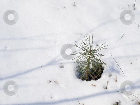 Pine in snow stock photo, Little growing green pine tree in the white snow by Sergej Razvodovskij