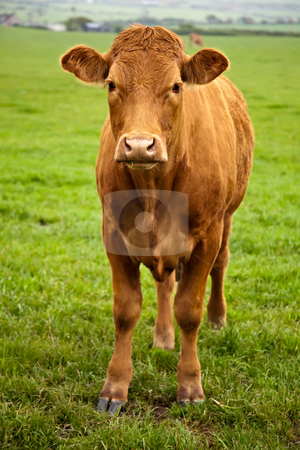Brown Cow stock photo, A brown cow standing in a green field and looking at the camera by Norma Cornes