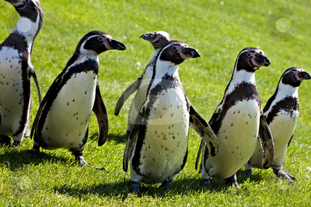 Humboldt Penguins stock photo, Humboldt penguins walking on grass by Norma Cornes