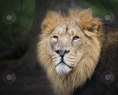 Lion stock photo, The King of the Jungle with his chilling strage. by Norma Cornes