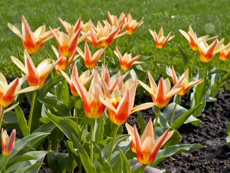 Tulips in grass stock photo, Many tulips in the green spring grass by Sergej Razvodovskij
