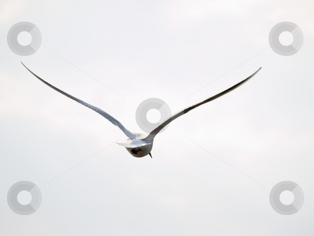 Free seagull stock photo, Single flying seagull in tghe wild nature by Sergej Razvodovskij