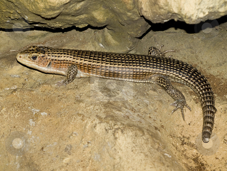 Lizard stock photo, Striped scale lizard in the wild nature at the stone by Sergej Razvodovskij