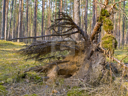 Tree roots stock photo, Fallen pine tree in the green wild forest by Sergej Razvodovskij