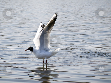 Flying up seagull stock photo, Wild seagull flying up under blue water by Sergej Razvodovskij