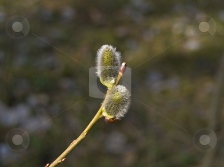 Yang pussywillow stock photo, Branch of the spring growing pussywillow in the forest by Sergej Razvodovskij