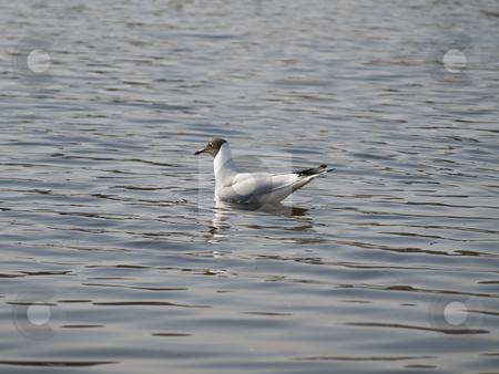 Swiming seagull  stock photo, Single swiming seagul at the lake waves by Sergej Razvodovskij