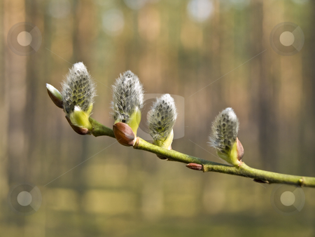 Pussywillow stock photo, Branch of the spring growing pussywillow in the forest by Sergej Razvodovskij