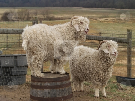 Two mountain goats on a farm stock photo, Two mountain goats on a farm.  One mountain goat is perched on a bucket . by Michelle White