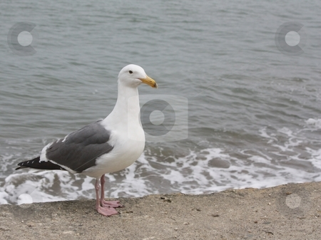 Sea gull by the sea  stock photo, Sea gull by the sea by Gregory Dean