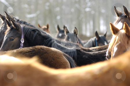 Young horses in the snow stock photo, Young horses in snow in winter by Andreas Brenner
