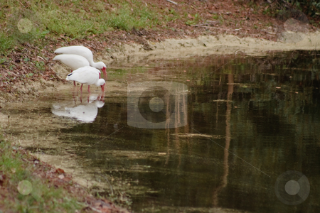 White Ibises Fishing in a Pond stock photo, White Ibises Fishing in a Pond by Thomas Marchessault