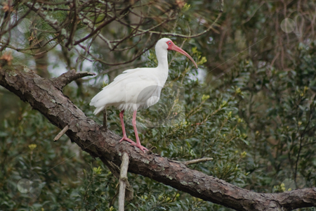 White Ibis Roosting stock photo, American White Ibis Roosing in a Tree by Thomas Marchessault