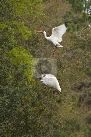 White Ibises Landing II stock photo, White Ibises Landing in a Tree by Thomas Marchessault