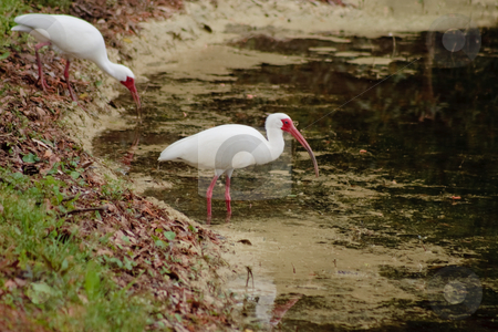 White Ibis at the Edge of a Pond stock photo, White Ibises Fishing in a Pond by Thomas Marchessault