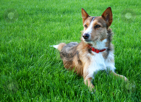 Sheperd dog stock photo, Dog on a green meadow by Marc Torrell