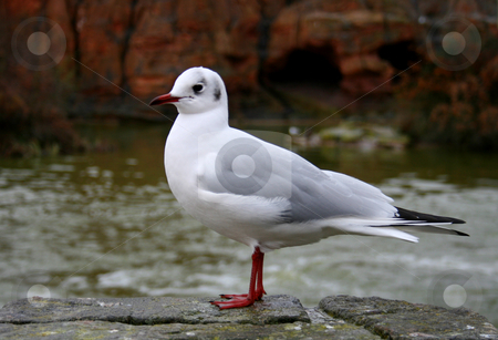 Seagull stock photo, One seagull bird stoped on a stoned wall by Marc Torrell