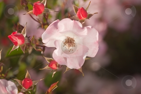Rose stock photo, Rose is a perennial flower shrub or vine of the genus Rosa, within the family Rosaceae. by Mariusz Jurgielewicz