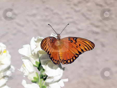 Orange and black butterfly on white flower stock photo, Butterfly with wings spread sitting on white flower by Jeff Cleveland