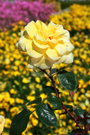 Flower stock photo, Yellow garden and rose close up by Marc Torrell