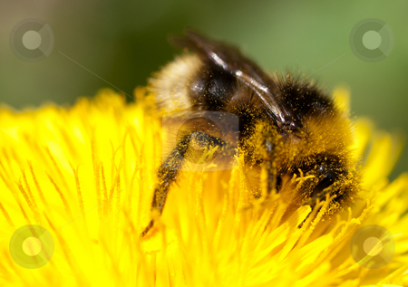Bumblebee on yellow flower stock photo, Bumblebee covered in pollen  on a yellow dandellion flower by Laurent Dambies