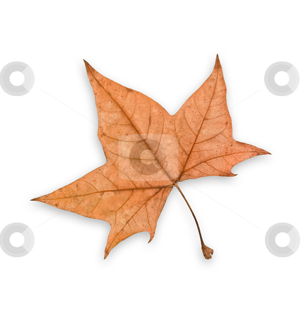 Autumn leaf, clipping path. stock photo, Autumn leaf, isolated, white background, clipping path excludes the shadow. by Pablo Caridad