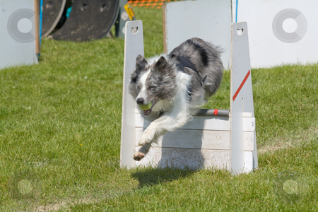 Border collies stock photo, Border collie competing in a fly ball competion by Stephen Mcnally
