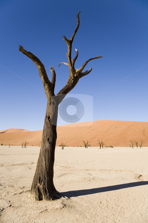 Dry Planet stock photo, Dead camel thorn tree, Deadvlei, Namib Desert, Namib-Naukluft National Park, Namibia, Africa by mdphot