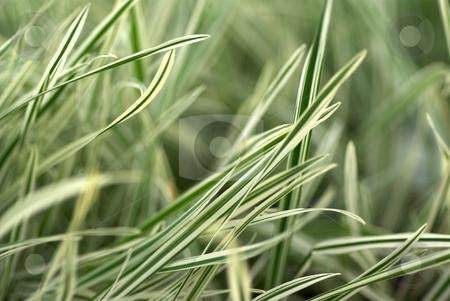 Creamy Green Blades stock photo, Closeup of creamy green grass blades by Charles Jetzer