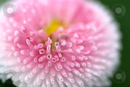 English Daisy Sponge stock photo, Closeup of an English Daisy Bloom by Charles Jetzer