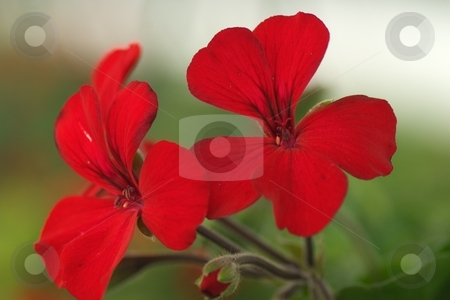 Red Geranium Bloom Closeup stock photo, Red Geranium Bloom Closeup by Charles Jetzer