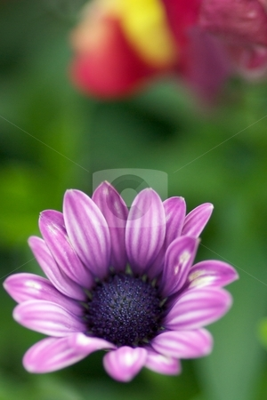 Painted Light Purple stock photo, Closeup of a Osteospermum Soprano Light Purple Bloom by Charles Jetzer